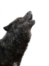 Portrait Howling Wolf Winter I...