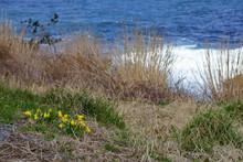 海岸線の草原に咲く黄...
