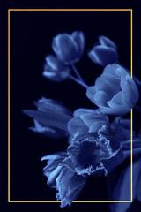 Panel Szklany Tulipany Bouquet of tulips isolated on black backround with orange frame. Phantom blue toning. Close up