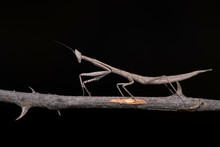 Stick Mantis, Archimantis Lati...