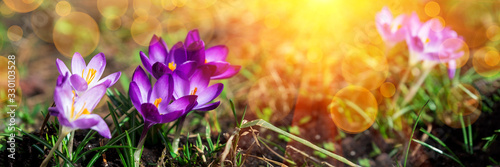 Obraz Banner 3:1. Close-up blooming purple crocus flowers on meadow under sun beams in spring time. Beautiful spring background. Selective focus - fototapety do salonu