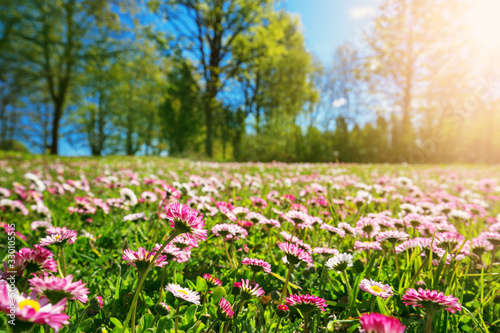 Fototapeta Meadow with lots of white and pink spring daisy flowers in sunny day obraz