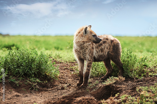 fototapeta na drzwi i meble Young spotted hyena on Savannah