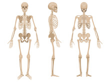 Human Skeleton In Front, Profi...