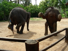 Two Elephants Performing On Gr...