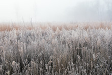 Frosted Autumn Tall Grass Prairie In Fog, Fort Custer State Park, Michigan, USA