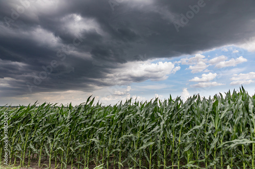 Fotografia, Obraz Fast moving thunderstom wall cloud over cornfield in summer