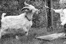 Little Girl Feeding Leaves To Goat By Fence On Field