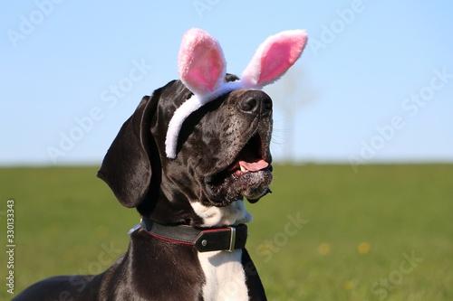 Fototapeta funny head portrait of a great dane with easter bunny ears slipping from head in garden obraz