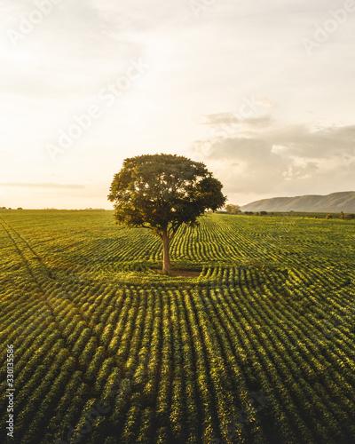 Photo Árbol solitario en una plantación de café