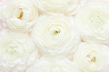Cream Ranunculus Flowers Close...