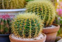 Echinocactus Grusonii In A Pot.Small Cactus  In A Pot Close Up.