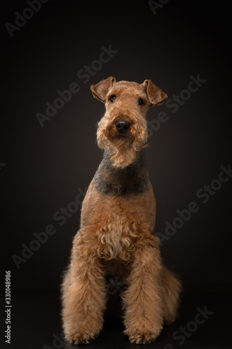 Photo Airedale Terrier on a black background