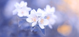 Blooming jasmine branch on a beautiful pastel lilac-blue blurred background, border. The concept of spring nature. Selective soft focus.