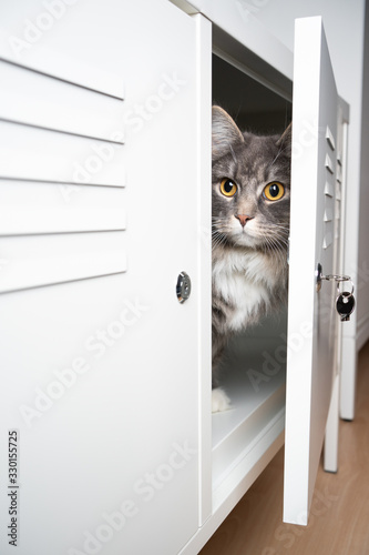 Cuadros en Lienzo cute gray white maine coon longhair cat hiding behind door inisde a cupboard tv