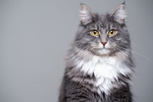 Studio Portrait Of A Cute Gray White Fluffy Maine Coon Longhair Cat Looking At Camera With Copy Space
