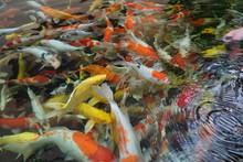 Colorful Fancy Carp Fish, Koi ...