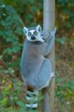 Fototapeta Zwierzęta - lemur