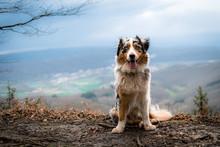 Dog Australian Shepherd Blue M...