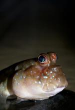 Atlantic Mudskipper (Periophth...