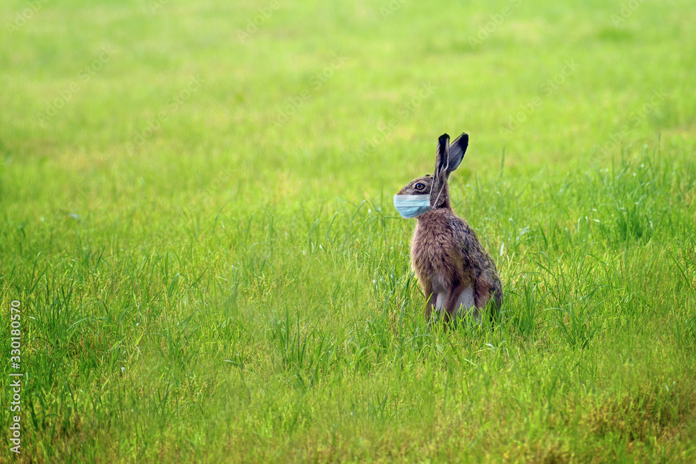 Fototapeta Easter bunny with a coronavirus face mask is sitting alone on a green meadow to avoid an infection during the holidays, health concept, copy space