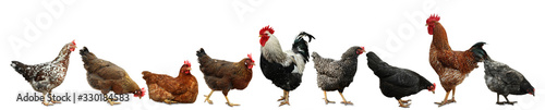 Collage with chickens and roosters on white background Fototapeta