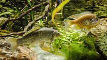 Pond Fish, Carp From Asia, Cyp...