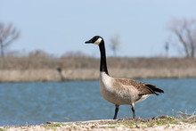 Elegant Canada Goose Standing On Lake Shore