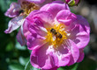 canvas print picture - Close-up of  Honey Bee Collecting Pollen on Pink Rose