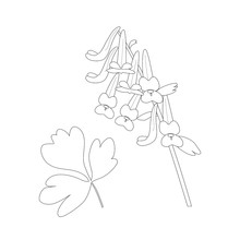 Vector Illustration Of аumewort Flower In Monochrome Contour Style. Macro White Black Flowers Also Called As Corydalis Solida. Spring Flowers.