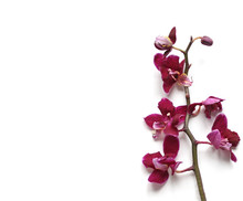 Pink Orchid Isolated On A Whit...