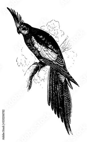 Cockatiel, vintage illustration. Canvas-taulu