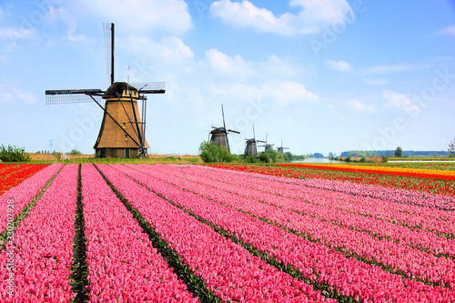 Classic Dutch windmills behind rows of pink tulip flowers, Netherlands