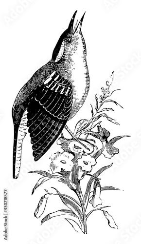Fototapeta Great Carolina Wren, vintage illustration.