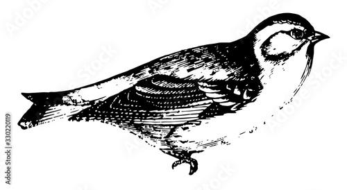 Fotografie, Obraz Finch, vintage illustration.