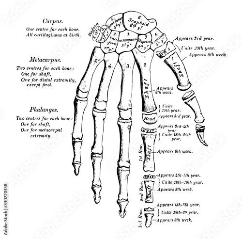 Obraz Hand Development, vintage illustration. - fototapety do salonu