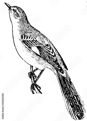 Canvas Print Mockingbird, vintage illustration.