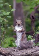 Furry Grey Squirrel Looks Surp...
