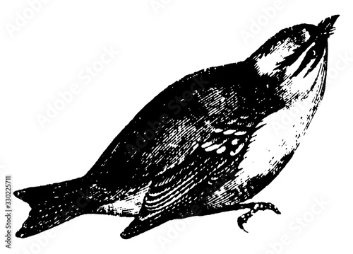 Wren, vintage illustration. Fototapet