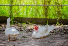 Two Ducks Lying In The Garden