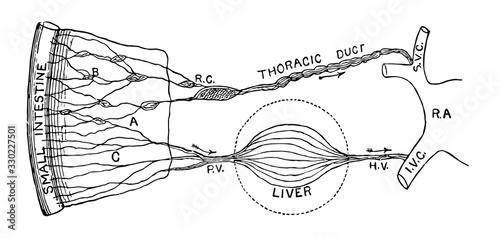Intestinal absorption, vintage illustration. Canvas Print