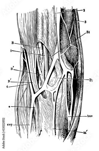 Photo Elbow-Joint, vintage illustration