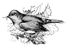 European Robin, Vintage Illust...
