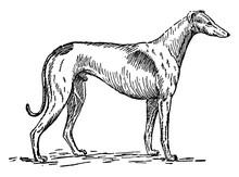 Greyhound, Vintage Illustration