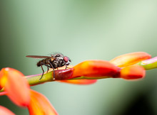Fly Posing On A Llower