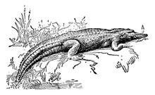 Alligator, Vintage Illustration