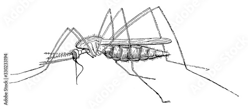 Mosquito/Culicidae, vintage illustration. Wallpaper Mural