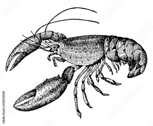 Photo Lobster/Nephropidae/Homaridae, vintage illustration.