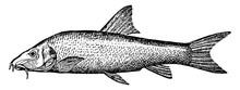 BarbelBarbus/Freshwater Fish, Vintage Illustration.