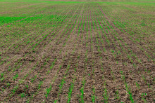 Rows Of Young Green Plants Cul...